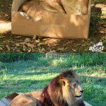 Büyük Kediler de Kutu Sever