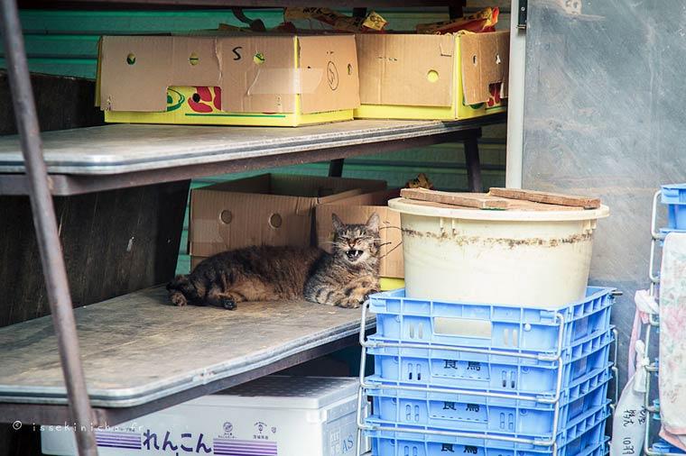 Japon Sokak Kedileri-11