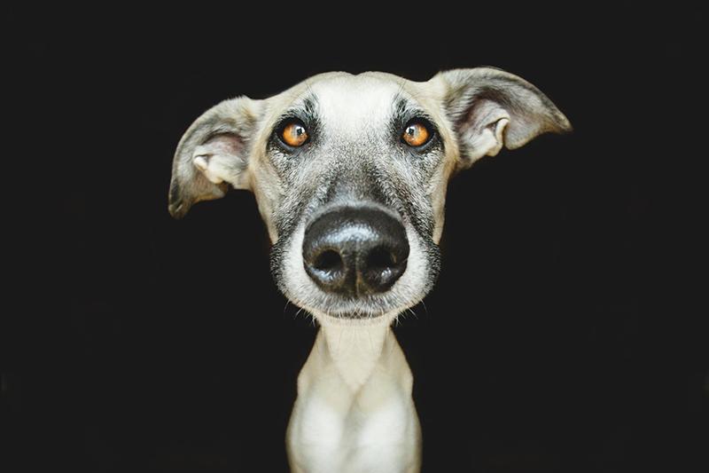 Köpek Portreleri-5