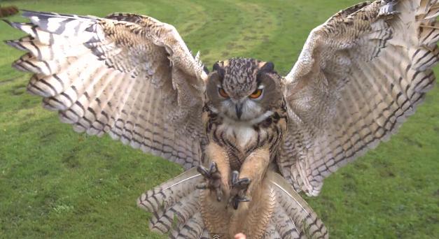 Kartal Baykuş - Eagle Owl