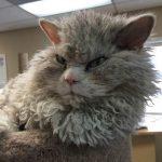Albert – Her Daim Sinirli Koyun Kedi